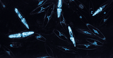Bioluminescent Dinoflagellates (Pyrocistus sp) flashing at night Starlight image intensifier camera image taken with no artificial light  -  Martin Dohrn/ npl