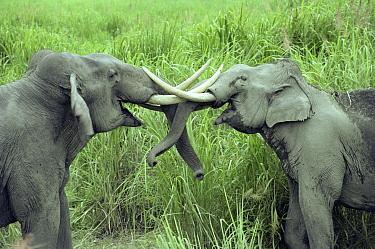 Male Indian elephants sparring (Elewphas maximus) Kaziranga National Park, Assam, India  -  Lockwood & Dattatri/ npl