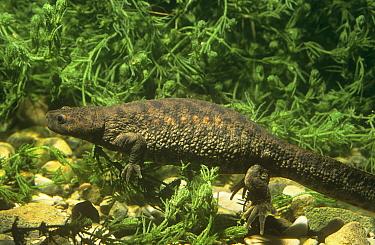 Sharp ribbed salamander (Pleurodeles waltl) underwater, Yecla, Murcia, Spain  -  Jose B. Ruiz/ npl