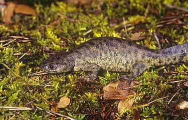 Sharp ribbed salamander (Pleurodeles waltl) crossing mossy ground, Spain  -  Jose B. Ruiz/ npl