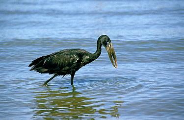 African openbill stork fishing, Uganda East-Africa  -  Barrie Britton/ npl