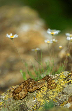 Sand, long nosed viper basking on rock (Vipera ammodytes) Bulgaria  -  Dietmar Nill/ npl