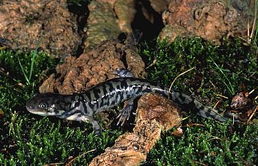 Tiger salamander (Ambystoma Tigrinum) Italy  -  Fabio Liverani/ npl