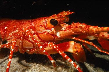 Long-armed lobster at night (Justitia longimana) coral reef Dominica, Caribbean  -  Martha Holmes/ npl