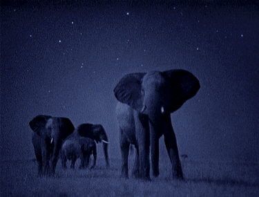 African elephant herd (Loxodonta africana) at night, Masai Mara Starlight image intensifier camera image taken with no artificial light  -  Martin Dohrn/ npl