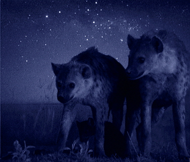 Spotted hyaenas at night, Masai Mara, Kenya Starlight image intensifier camera image taken with no artificial light, composite  -  Martin Dohrn/ npl
