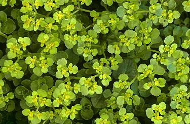 Opposite leaved golden saxifrage (Chrysosplenium oppositifolium) Derbyshire, UK  -  Geoff Simpson/ npl
