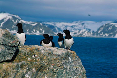 Little auks on land (Plautus alle) Svalbard, Norway  -  Hanne & Jens Eriksen/ npl