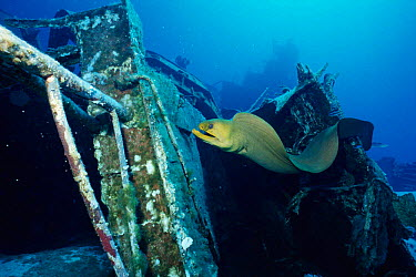 Green moray eel (Gymnothorax funebris) on ship wreck Cayman brac, BWI, Caribbean Russian destroyer 356 was sunk in 1996 to create artificial reef  -  Carine Schrurs/ npl