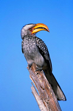 Yellow billed hornbill (Tockus flavirostris) Moremi WR, Botswana, Africa  -  Tony Heald/ npl