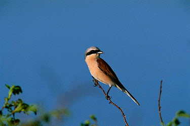 Red backed shrike (Lanius collurio) Cildir Golu, Turkey  -  Hanne & Jens Eriksen/ npl