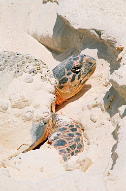 Hawksbill turtle at nest on beach (Eretmochelys imbricata) Daymaniyats, Oman, note barnacles on shell  -  Hanne & Jens Eriksen/ npl