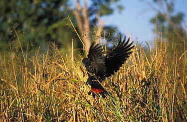 Red tailed black cockatoo (Calyptorhynchus banksii) Western Australia  -  Tony Heald/ npl
