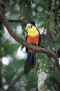Red breasted toucan (Ramphastos dicolorus) Iguazu NP, Brazil, Argentina  -  Gabriel Rojo/ npl