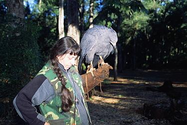 Crowned eagle with handler (Stephanoaetus coronatus) captive, Argentina  -  Gabriel Rojo/ npl