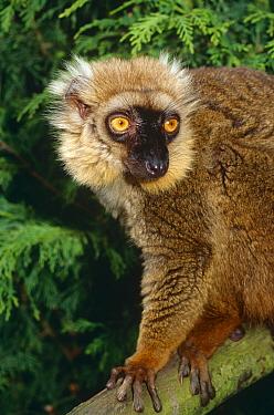 Sanford's brown lemur (Eulemur fulvus sanfordi) captive from Madagascar  -  Rod Williams/ npl