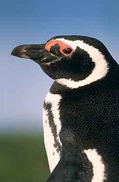 Magellanic penguin (Spheniscus magellani) Patagonia, Chile  -  Ingo Arndt/ npl