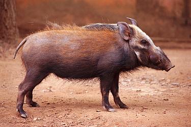 Bush pig (Potamochoerus larvatus) Madagascar  -  Nick Garbutt/ npl