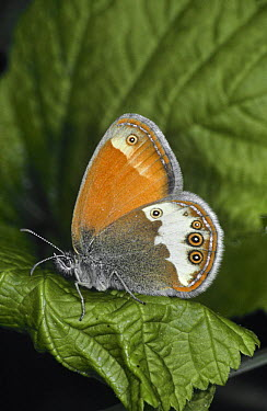 Pearly heath butterfly (Coenonympha arcania) Germany  -  Hans Christoph Kappel/ npl