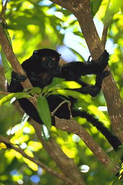 Perrier's sifaka (Propithecus diadema perrieri), Analamera National Park, Madagascar  -  Pete Oxford/ npl