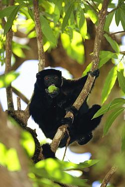 Perriers sifaka eating fruit in tree (Propithecus diadema perrieri), Analamera National Park, Madagascar  -  Pete Oxford/ npl