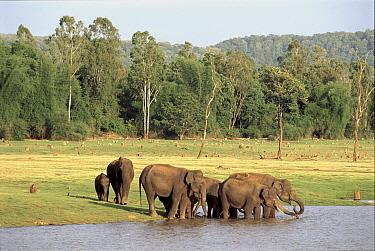 Indian elephants drinking Kabini NP India  -  Lockwood & Dattatri/ npl