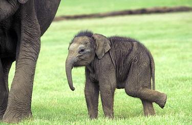Indian elephant baby (Elephas maximus) Kabini NP India  -  Lockwood & Dattatri/ npl