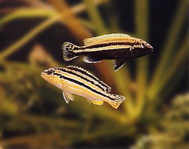 Lake Nyasa golden cichlids (Melanochromis auratus), Male above female Captive  -  Jane Burton/ npl