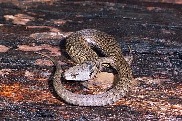 She-Oak Skink (Cyclodomorphus, Tiliqua casuarina) Tasmania, Australia  -  Dave Watts/ npl