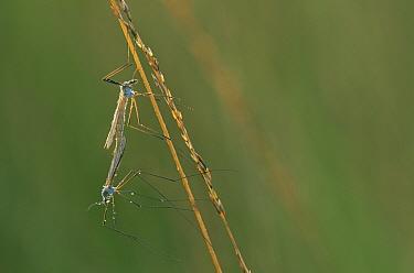 Daddy long legs, Craneflies (Tipula oleracea) pair mating, Belgium  -  Niall Benvie/ npl