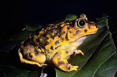 Eastern spadefoot toad (Scaphiopus holbrooki holbrooki) USA  -  Barry Mansell/ npl
