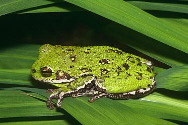Barking tree frog (Hyla gratiosa) Florida, USA  -  Barry Mansell/ npl