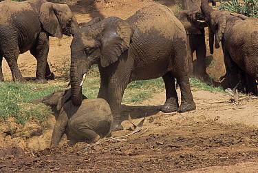 African elephant helps baby to dust bathe (Loxodonta africana) Kenya  -  Karl Ammann/ npl
