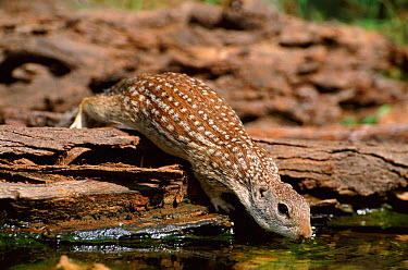 Mexican ground squirrel drinking (Spermophilus mexicanus) Texas, USA, North America  -  David Welling/ npl