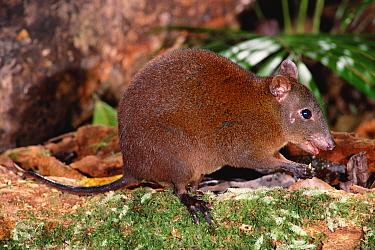 Musky rat kangaroo (Hypsiprymnodon moschatus) Queensland, Australia  -  Dave Watts/ npl