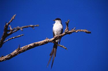 Fork tailed flycatcher (Tyranus savana) Lihue calel NP, Provincia de La Pampa, Argentina  -  Gabriel Rojo/ npl