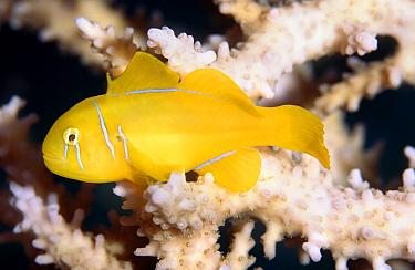 Citron (lemon coral) goby (Gobiodon citrinus) Red Sea  -  Colin Preston/ npl