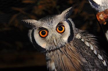 White faced scops owl portrait  -  John Downer/ npl