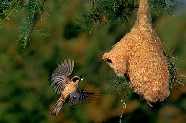 Penduline tit flying to nest, Spain  -  Jose Luis Gomez De Francisco/ np
