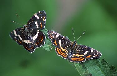 Map butterfly 2nd brood August, July (Araschnia levana) Germany  -  Hans Christoph Kappel/ npl