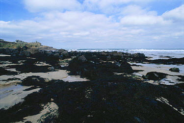 Bladderwrack seaweed at low tide (Fucus vesiculosus) Cornwall UK  -  Dan Burton/ npl