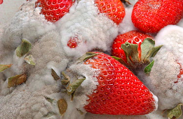 Cultivated strawberries rotting (Fragaria vesca) England, UK Sequence 5 of 6  -  Dan Burton/ npl