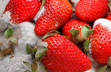 Cultivated strawberries rotting (Fragaria vesca) England, UK Sequence 3 of 6  -  Dan Burton/ npl