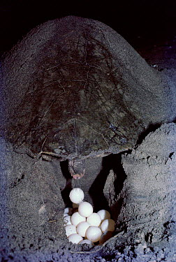 Olive Ridley turtle female laying eggs, Orissa, India  -  Lockwood & Dattatri/ npl