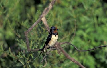 Barn swallow in tree (Hirundo rustica) Lesbos  -  David Kjaer/ npl