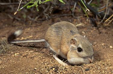 Bannertail Kangaroo Rat foraging filling cheek pouches (Dipodomys spectabilis) AZ USA  -  Mary Mcdonald/ npl