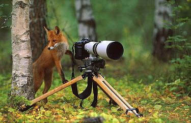 Red fox investigates camera (Vulpes vulpes) Norway  -  Asgeir Helgestad/ npl