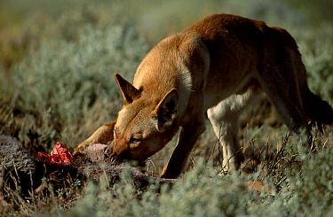 Dingo feeding on kangaroo (Canis dingo) Sturt NP New South Wales Australia  -  Owen Newman/ npl