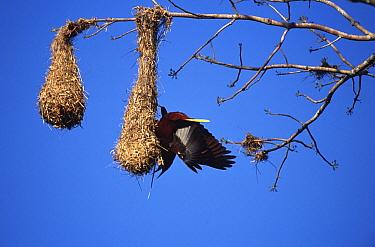 Montezuma oropendola at nest (Gymnostinops montiezuma) Yucatan, Mexico  -  Patricio Robles Gil/ npl