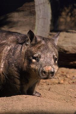 Northern hairy nosed wombat (Lasiorhinus kreffti) Queensland, Australia  -  Brent Hedges/ npl